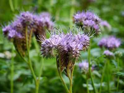Purple tansy