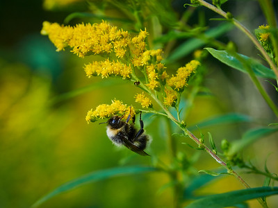 Bumblebee and Canadian goldenrod 13