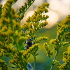 Bumblebee and Canadian goldenrod 15