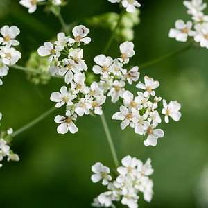 Cow Parsley with some small winged friends