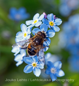 Wood forget-me-not with a hoverfly
