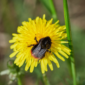 Red-tailed bumblebee on a dandelion