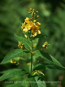 Ranta-alpi (Lysimachia vulgaris) - Yellow Loosestrife