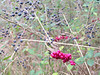 Winter berries in Ozone Falls Natural Area in Tennessee