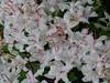 Wild azaleas
