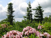 Mountain laurel and red spruce near Bear Rocks Natural Preserve, WV