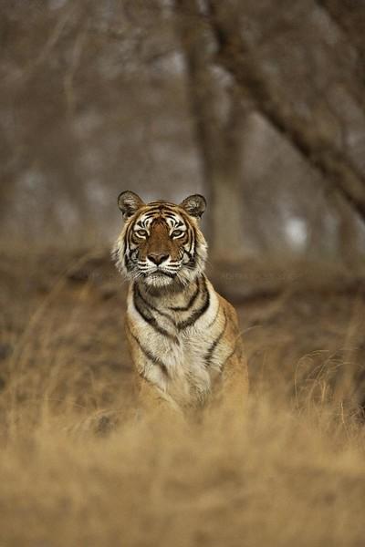 machali tiger ranthambore