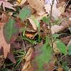 Wavyleaf Aster (Symphyotrichum undulatum)