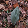 Puttyroot orchid (Aplectrum hyemale) aka Adam-and-Eve