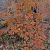 American Beech (Fagus grandifolia)