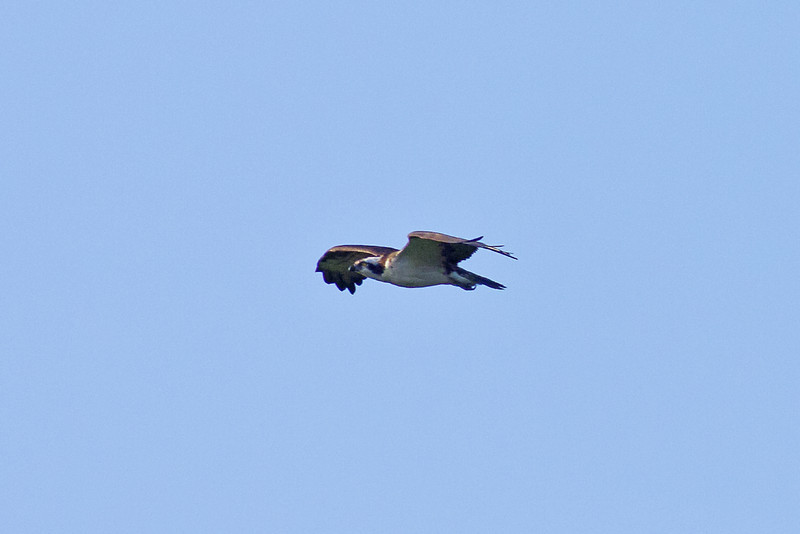 A distant capture of a Male Osprey in flight... The female is larger, and has a brown necklace around it's neck...