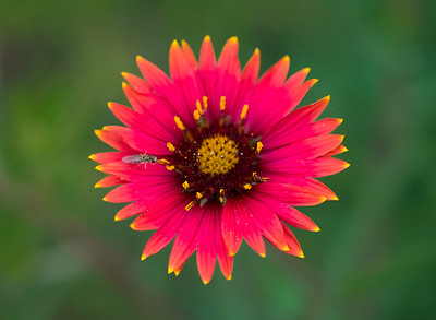 Indian Blanket and Fly