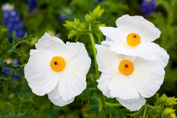 Texas White Poppies