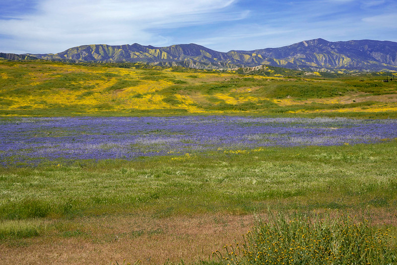 Small Phacelia field (bluish purple)  in the Caliente Range (western flank of the Carrizo Plain); Temblor Range in the background.
