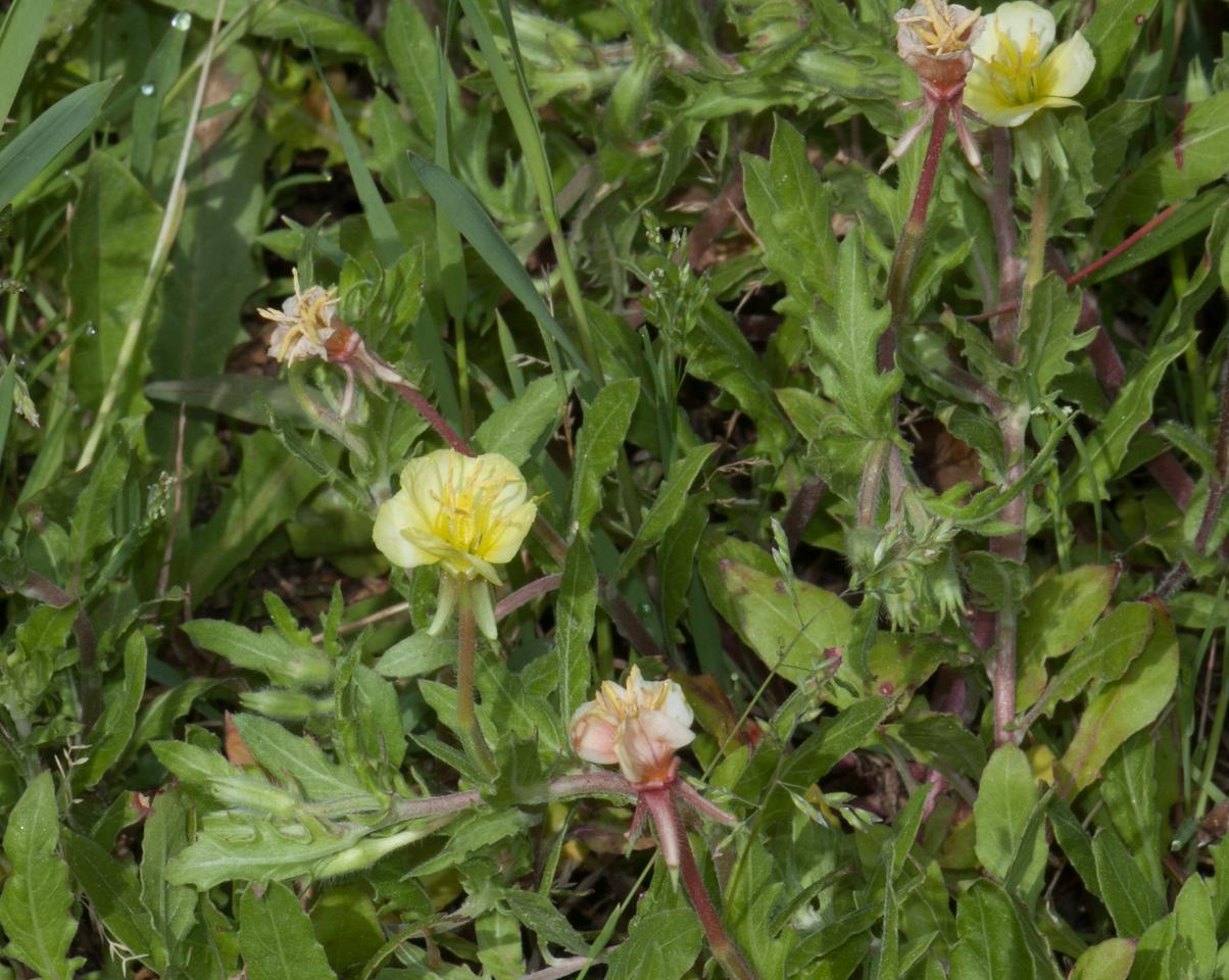 Cutlleaf Evening Primrose (Oenothera laciniata)