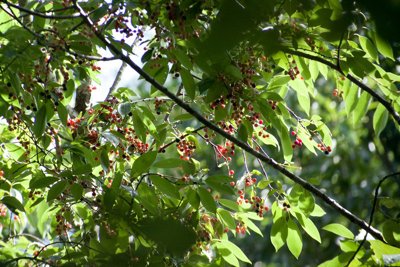 Wild Cherries in East Texas