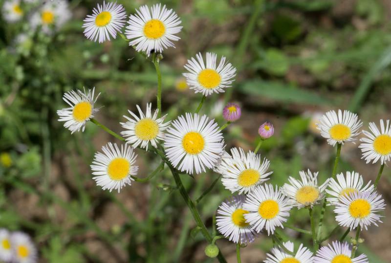 Daisy Fleabane  (Erigeron strigosus)