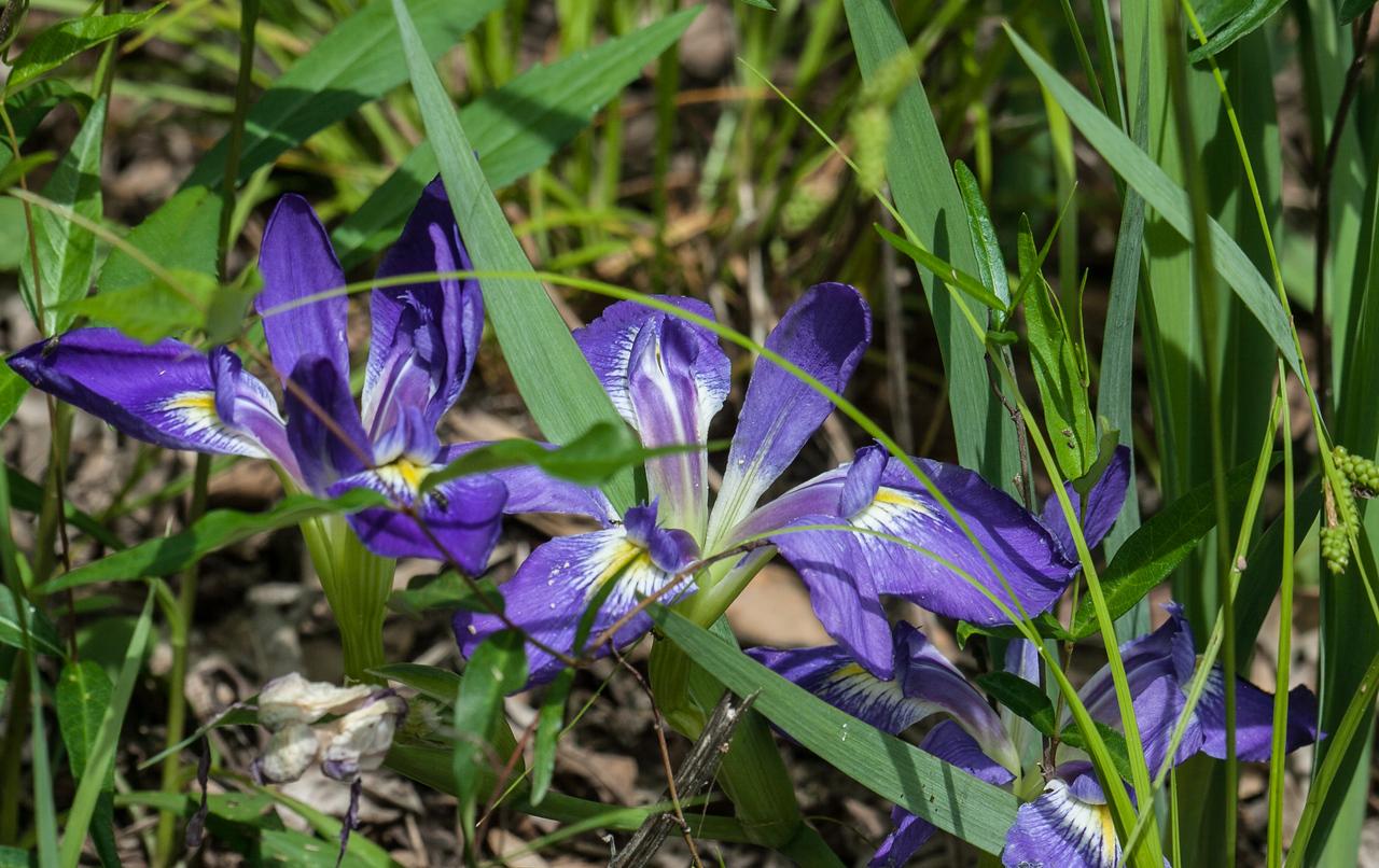 Blue Flag Iris virginica