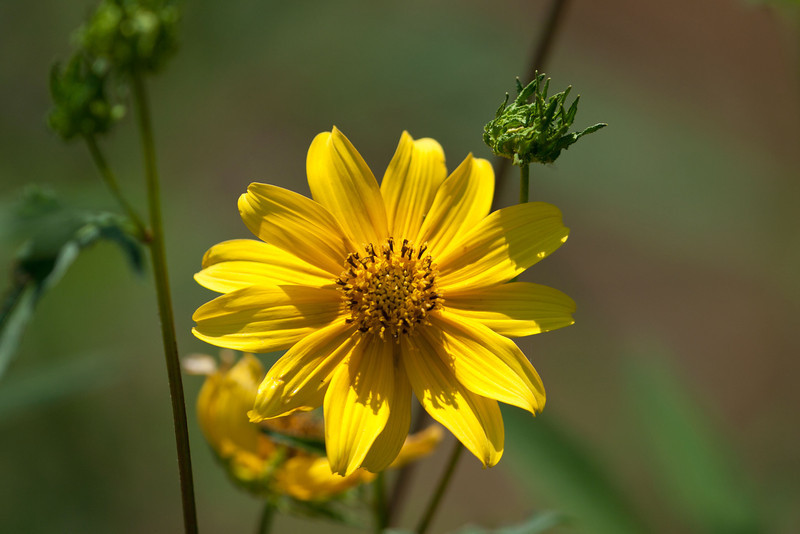 Tickseed-sunflower (Bidens coronata)
