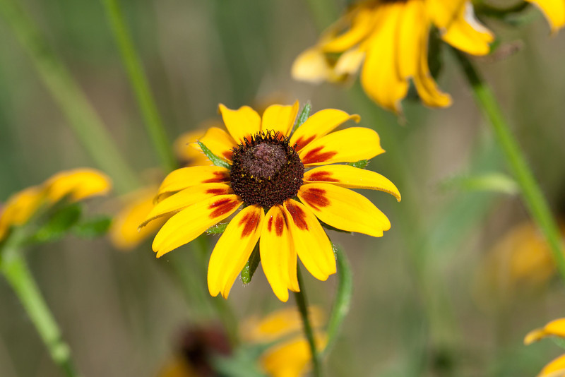 Prarie Coneflower