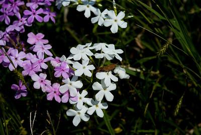 Wildflowers 2009-0162