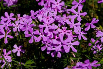 Wildflowers 2009-0155