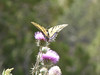 May 18: Butterfly on thistle, Potrillo Cliffs