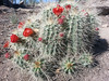 May 17: Claret Cups on Canyon Rim Trail