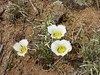 May 18: Mariposa Lily, Potrillo Cliffs