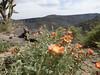 April 25: Globe Mallows(?) at Big Enchilada