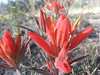 May 17: Indian Paintbrush on Canyon Rim Trail