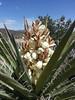 May 7: same Banana Yucca, 2 days later