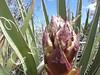 April 30: Banana Yucca on Deer Trap