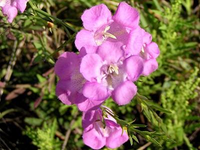 Purple Gerardia - Baytown Nature Center, Baytown, TX