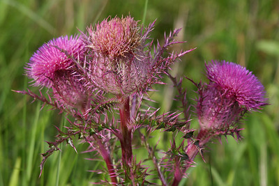 Texas Thistle - Anahuac NWR, Texas