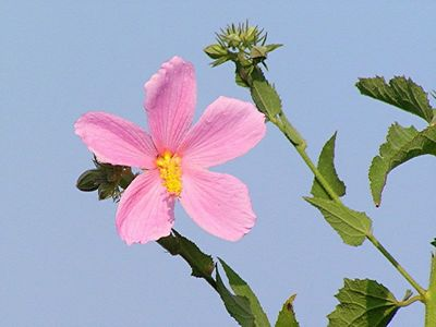 Marsh Mallow - Baytown Nature Center, Baytown, TX