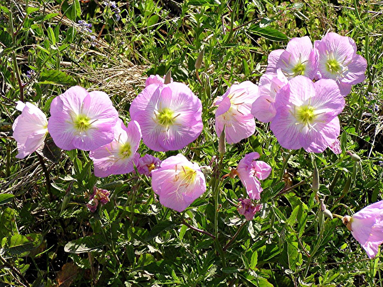 Showy Primrose - Baytown Nature Center, Baytown, TX
