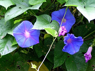 Common Morning Glory - Baytown Nature Center, Baytown, TX