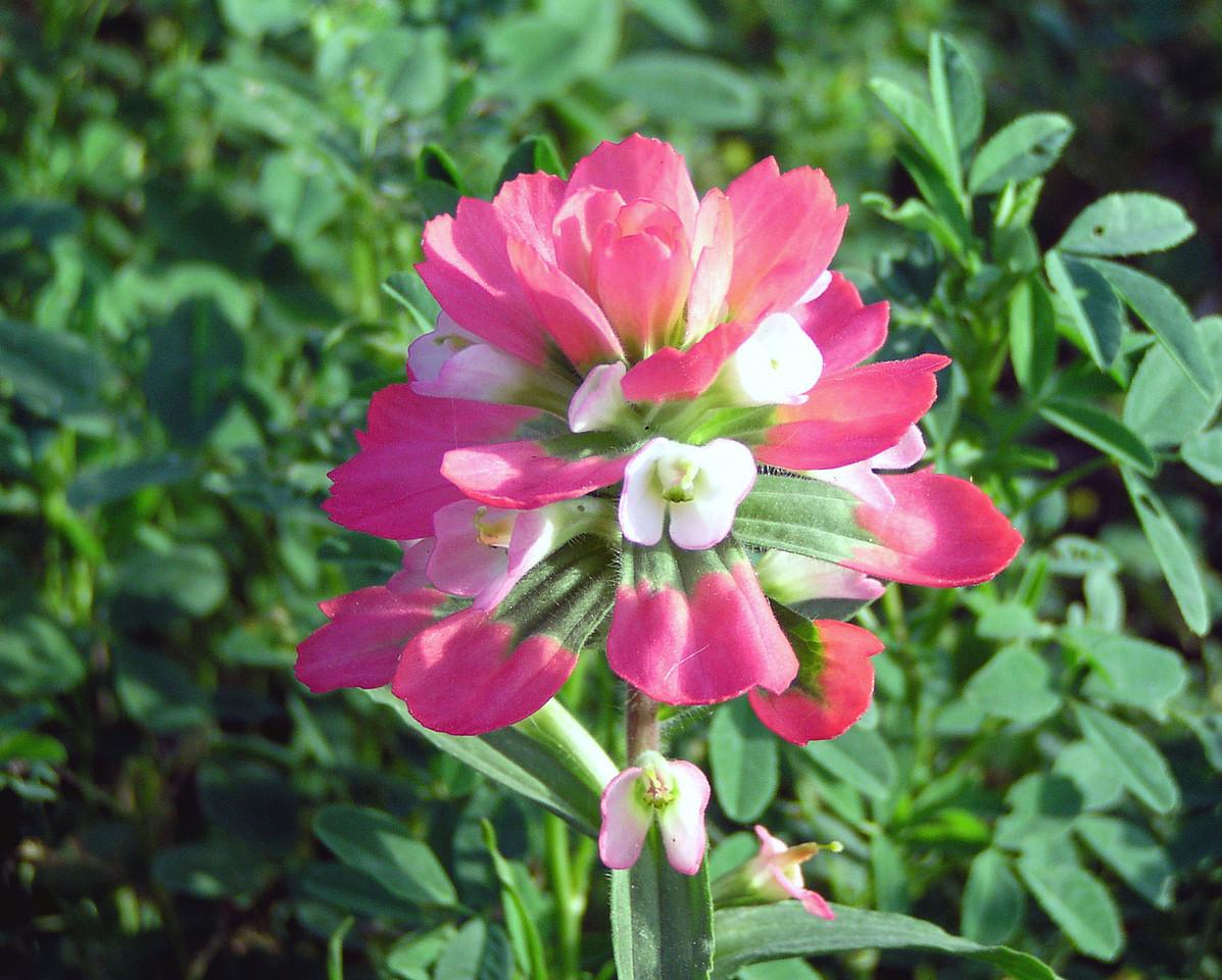 Indian Paintbrush - Baytown Nature Center, Baytown, TX