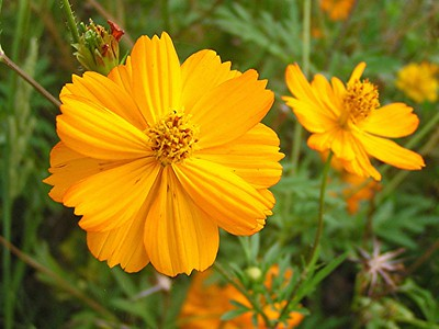 Yellow Cosmos - Baytown Nature Center, Baytown, TX