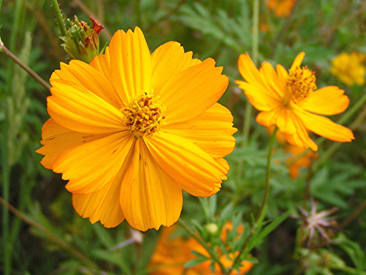 Yellow Cosmos - Baytown Nature Center, Baytown, TX