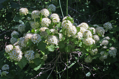 Maple-leaved Viburnum - Sundance Ski Resort, near Provo, Utah