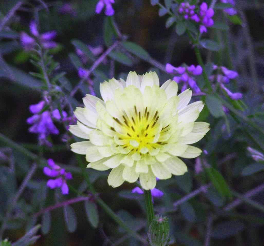 Texas Dandelion - Baytown Nature Center, Baytown, TX