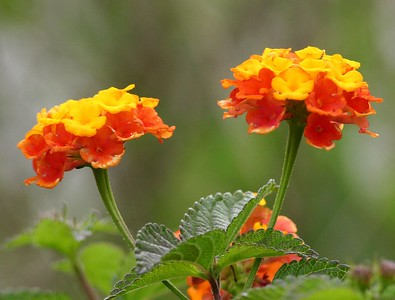 Native Lantana - Baytown Nature Center, Baytown, TX