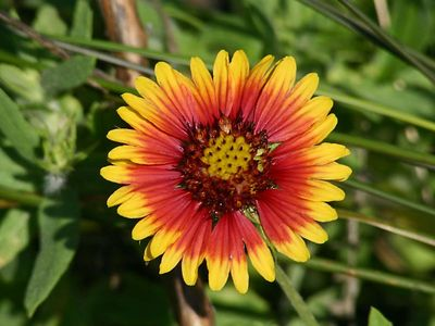 Indian Blanket - Baytown Nature Center, Baytown, TX