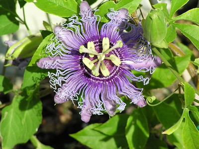 Passionflower - Baytown Nature Center, Baytown, TX
