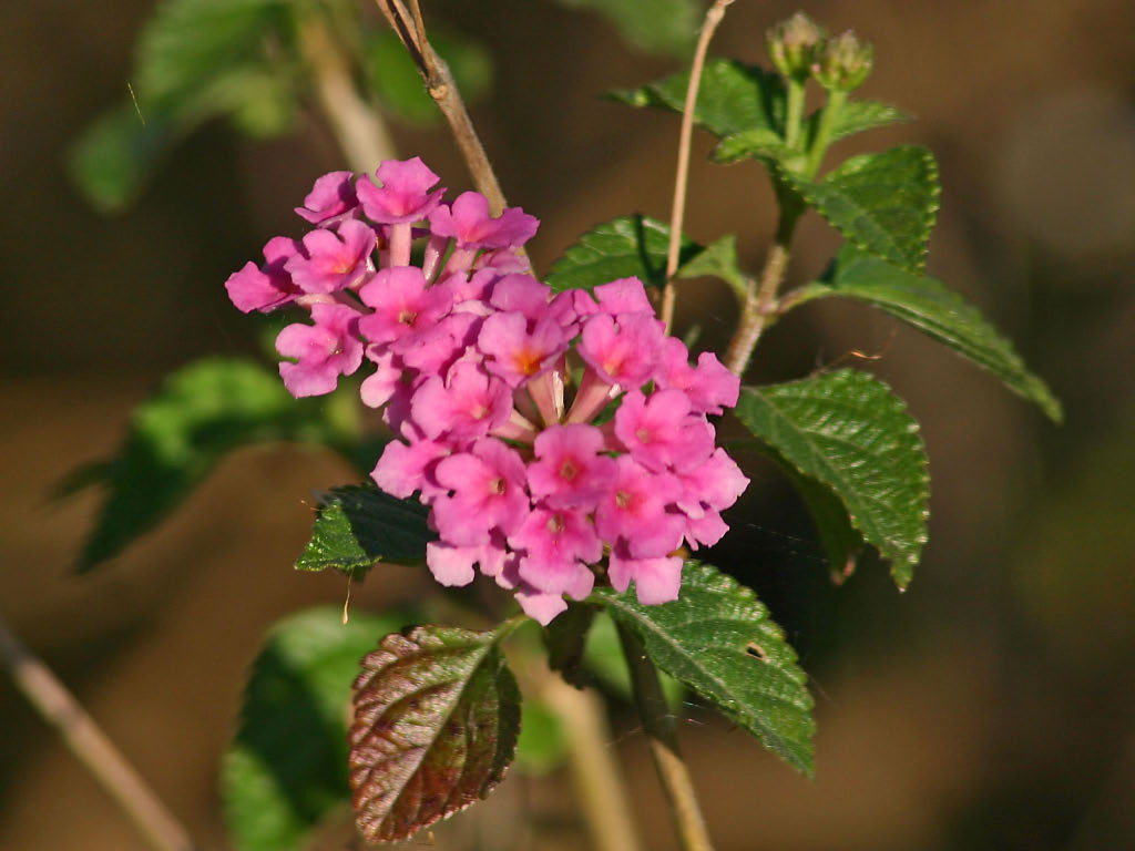 Lantana - Baytown Nature Center, Baytown, TX