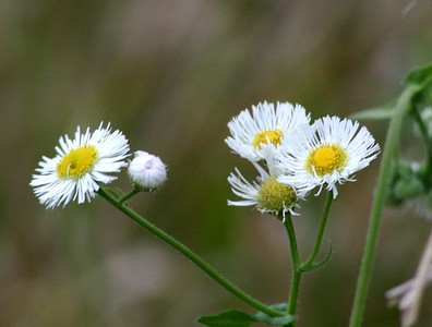 Daisy Fleabane - Baytown Nature Center, Baytown, TX