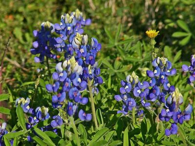 Texas Bluebonnets - Baytown Nature Center, Baytown, TX