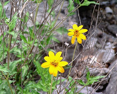Tickleseed Sunflower - Texas Hill Country
